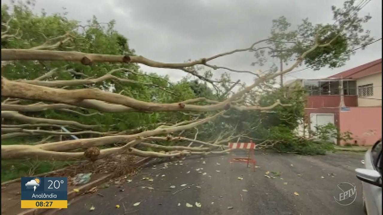 Árvore cai toma quarteirão no bairro Iguatemi, em Ribeirão Preto