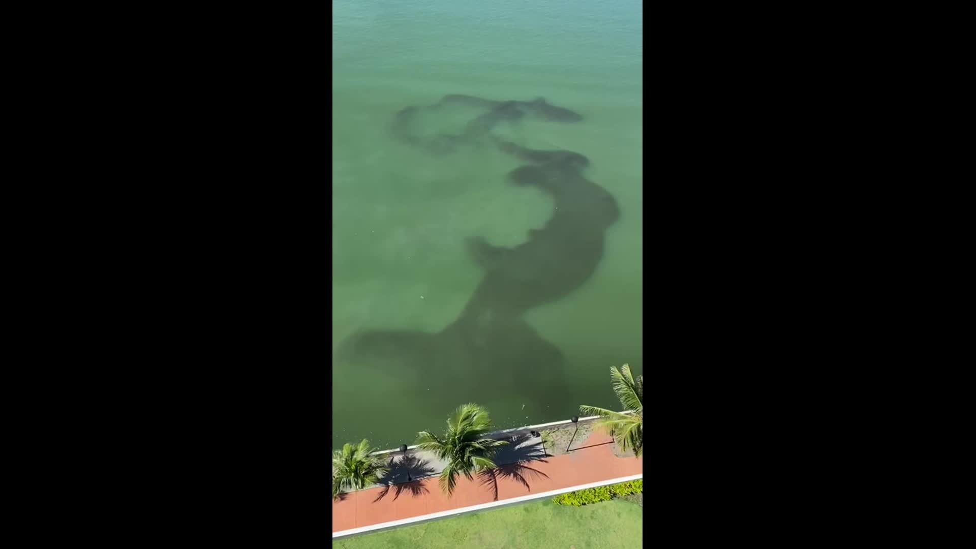 Grande cardume de sardinhas é visto na Bacia do Pina, no Recife; veja vídeo