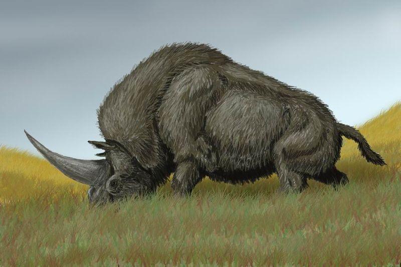 Unicórnio siberiano (Elasmotherium sibiricum) (Foto: DiBgd/Wikimedia Commons)