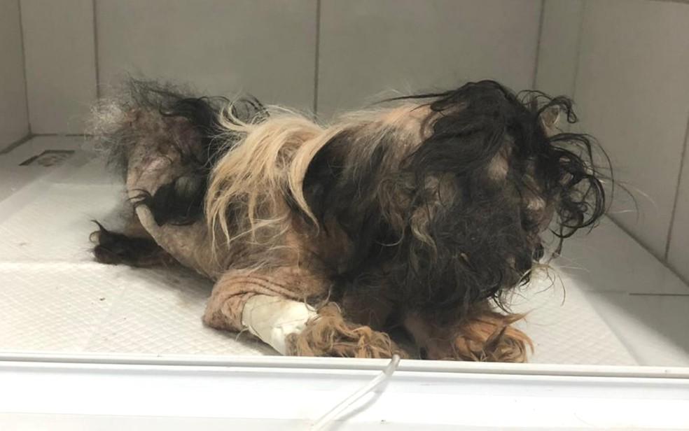 Cão está internado em clínica veterinária de Goiânia — Foto: Protetores dos Animais de Goiânia/ Divulgação