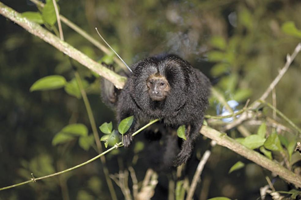 Mico-leão-preto é uma das espécies que vivem nas florestas do Pontal do Paranapanema — Foto: Divulgação/IPÊPrêmio Rolex 2004