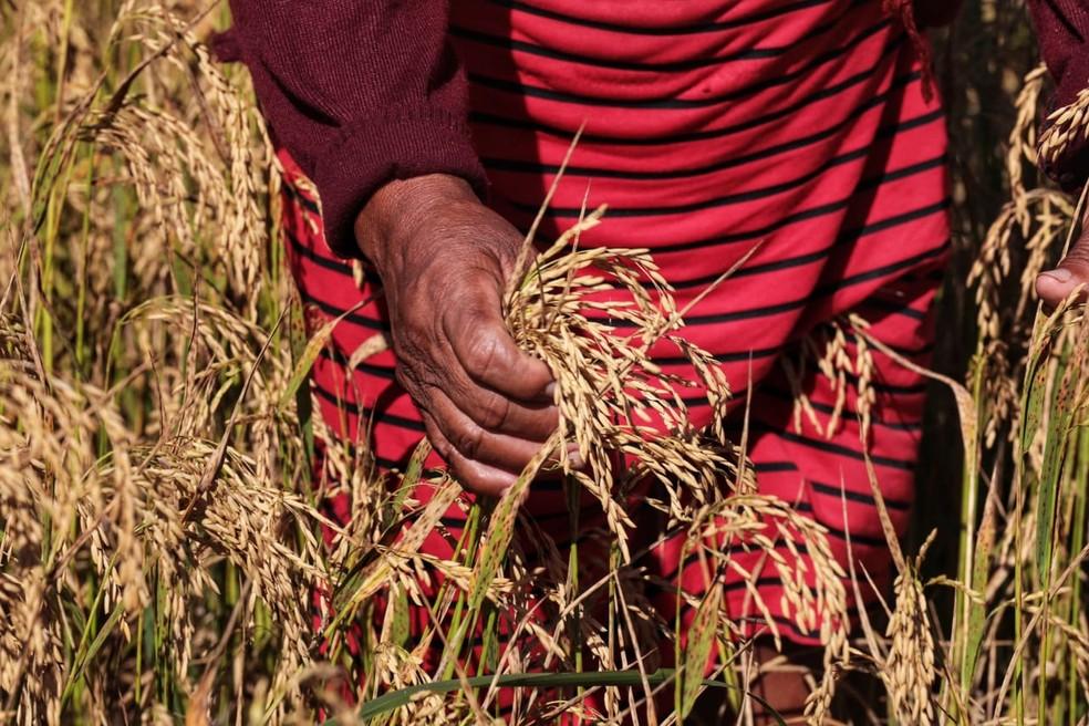 Indígenas já produzem arroz e milho para o consumo, mas a intenção é ampliar lavouras — Foto: Tchelo Figueiredo/Secom-MT