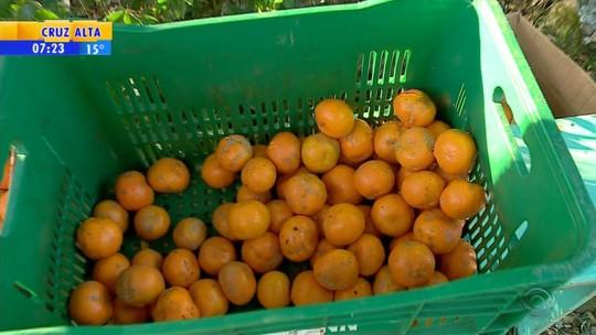 Gaúchos comemoram inverno com bergamota em Venâncio Aires