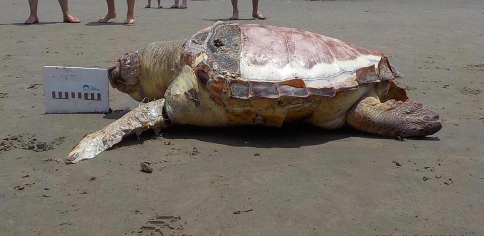 Duas tartarugas-cabeçuda foram recolhidas em praias da região sem vida  — Foto: Divulgação/Instituto Biopesca