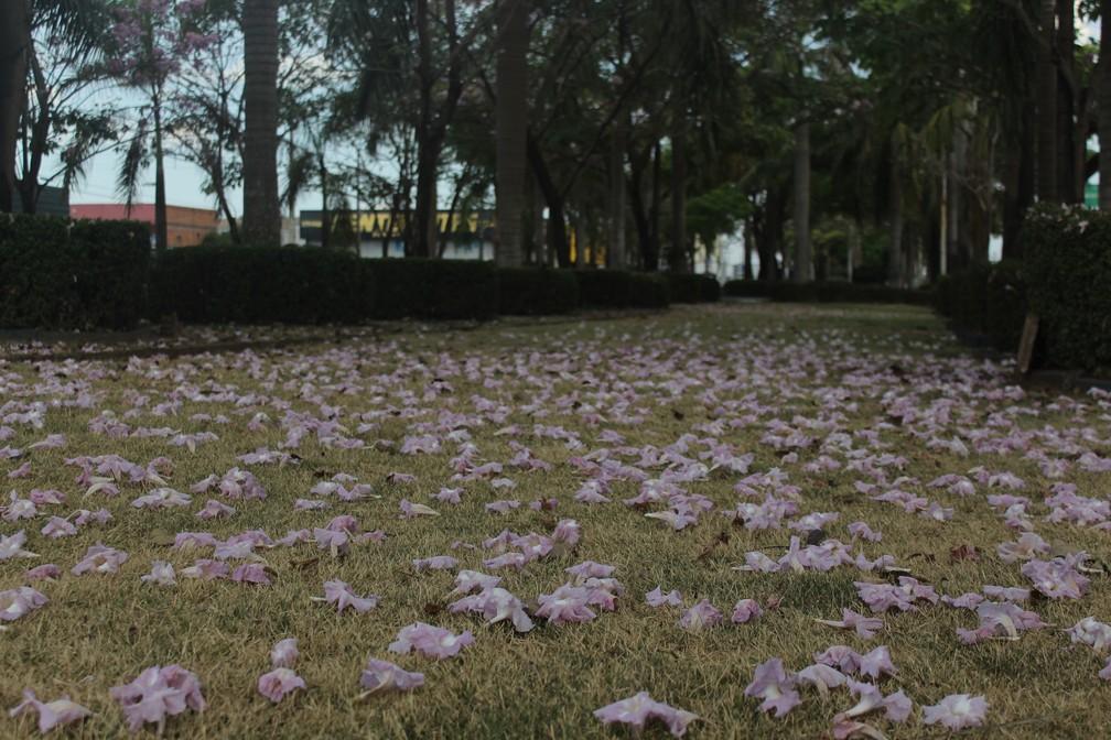 Flores dos ipês rosas formam 'tapete' em canteiro de avenida em Porto Velho.  — Foto: Pedro Bentes/G1