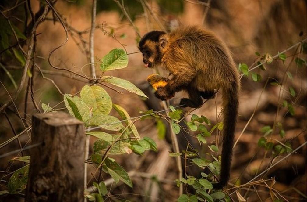 Macaco-prego se alimenta com mamão distribuído por voluntários no Pantanal — Foto: Frico Guimarães/Documenta Pantanal/BBC