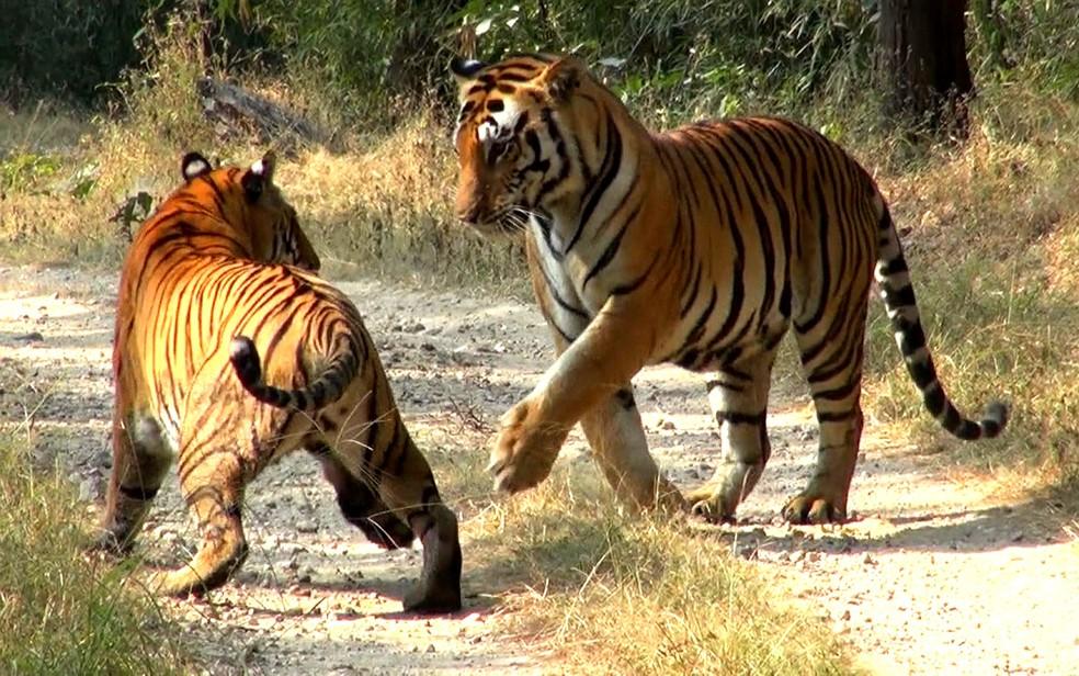 Imagens de tigres-de-bengala feitas pelo Globo Repórter em 2018 — Foto: rede globo