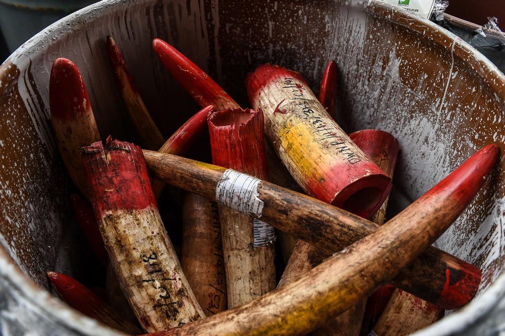 30 de abril - Presas de marfim apreendidas são exibidas antes de serem destruídas, em Port Dickson, na Malásia — Foto: Mohd Rasfan/AFP