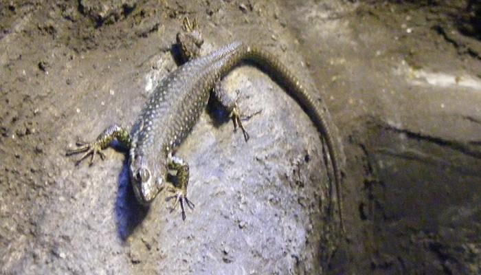 A espécie pode crescer até 50 centímetros de comprimento (Foto: nixunhuan.com)