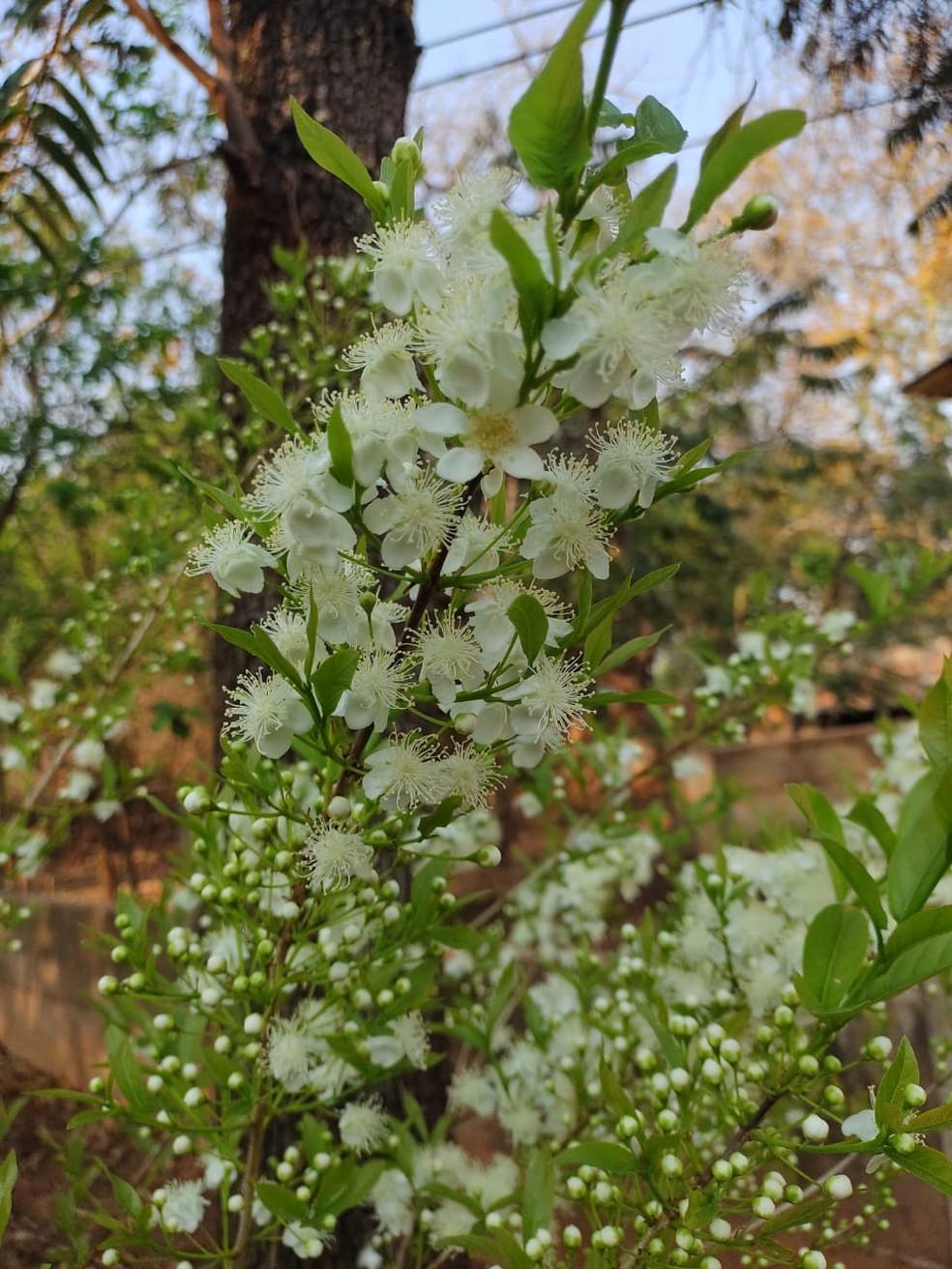 Até parece buquê, mas é a flor da guavira dando o ar da graça — Foto: Juliana Casadei/Arquivo Pessoal