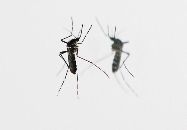 Mosquito Aedes aegypti, transmissor de doenças como zika vírus, dengue e febre chikungunya (Foto: Valery Hache/AFP/Getty Images)