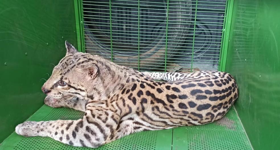 Felino foi encaminhado para avaliação médica e deve ser solto na natureza — Foto: Polícia Militar