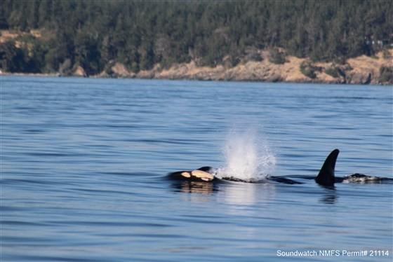 Orca monitorada por instituição dedicada à proteção de baleias carrega filhote natimorto há quase 20 dias (Foto: Reprodução / Soundwatch)