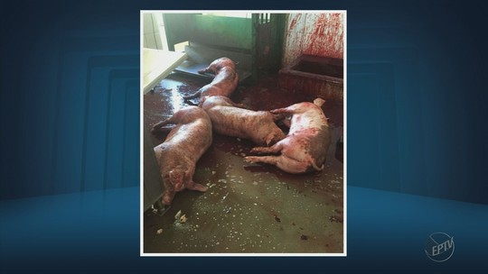 Quatro são presos por maus tratos em matadouro de Ibituruna, MG
