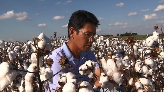 Agricultores paranaenses voltam a investir no plantio de algodão