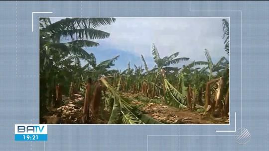 Plantação de bananas é parcialmente destruída na Bahia após ventania com rajadas de 42 km/h