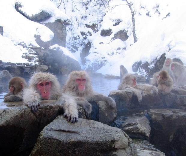 Macacos-japonês aproveitam um banho quente nas águas termais do Parque de Jigokudani, em Yamanouchi (Japão) (Foto: Wikicommus)
