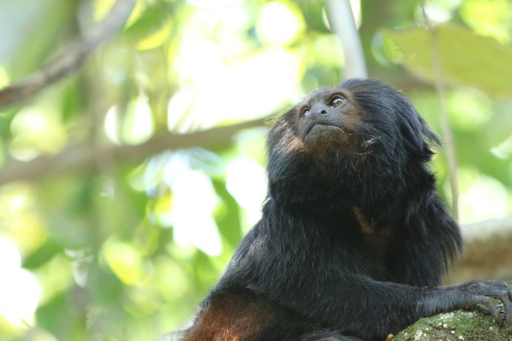 Mico-leão-preto está entre as espécies que habitam o Pontal do Paranapanema e que já foram 'detetives ecológicos' — Foto: Gabriela Cabral Rezende
