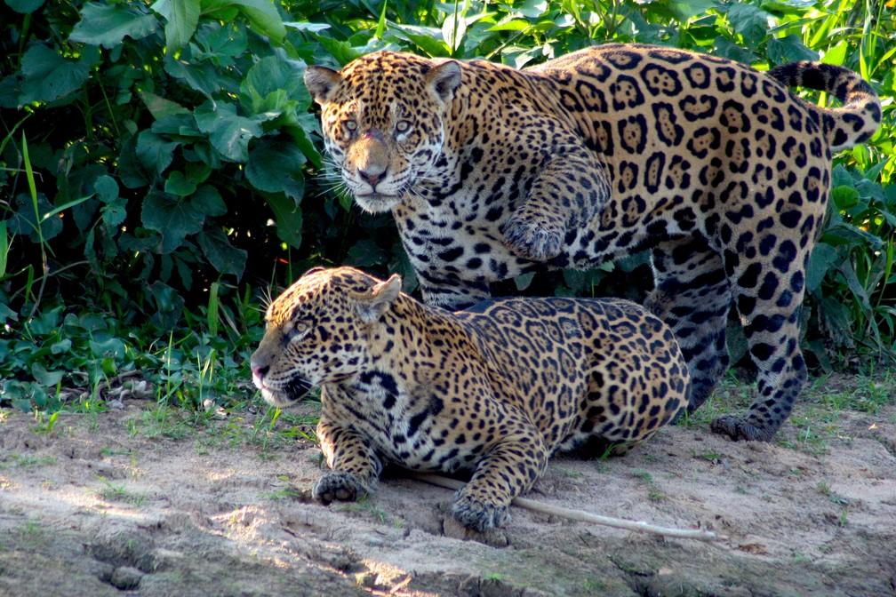 Duas onças-pintadas 'namoram' às margens de rio no Pantanal de Mato Grosso — Foto: Douglas Brian Trent/Arquivo pessoal