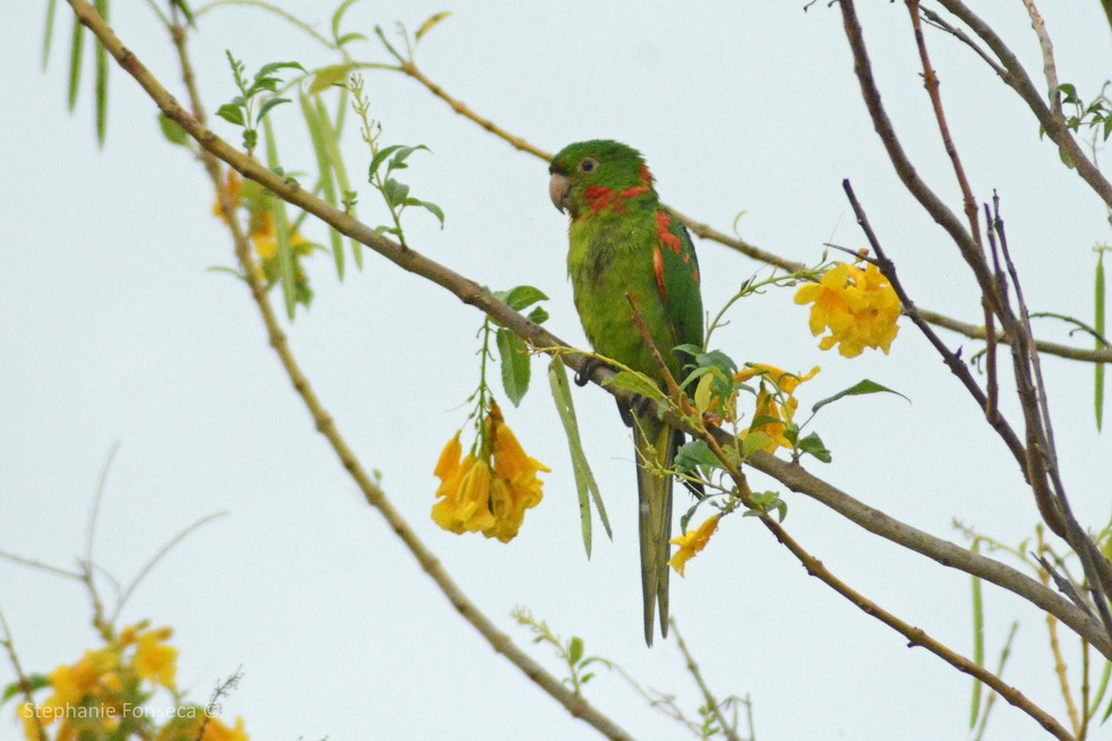 Periquitão-maracanã (Psittacara leucophthalmus) — Foto: Stephanie Fonseca/G1