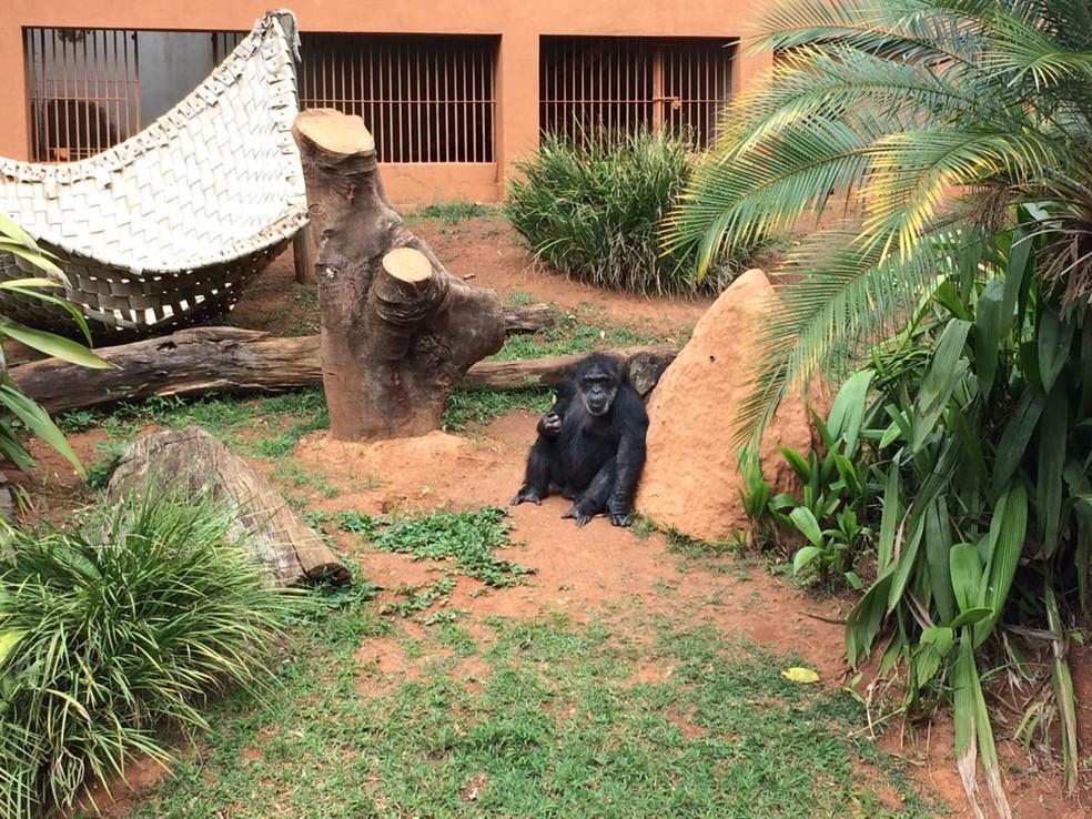 Justiça pede transferência de chimpanzé do Zoológico de Sorocaba — Foto: Divulgação/Prefeitura de Sorocaba