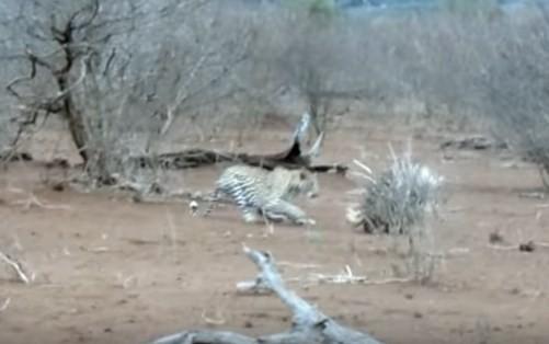 Leopardo investe contra porco-espinho