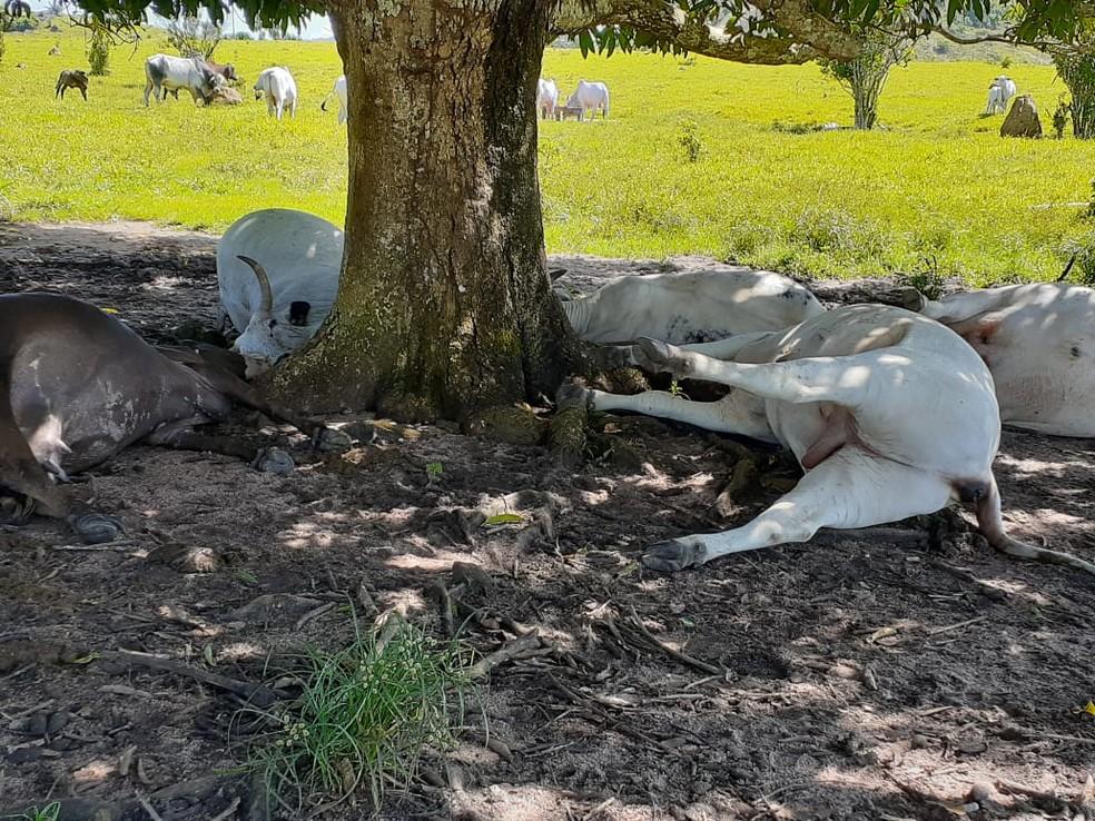 Cinco cabeças de gado morrem após serem atingidas por raio em Ministro Andreazza, RO — Foto: Admilson José da Costa/Arquivo pessoal