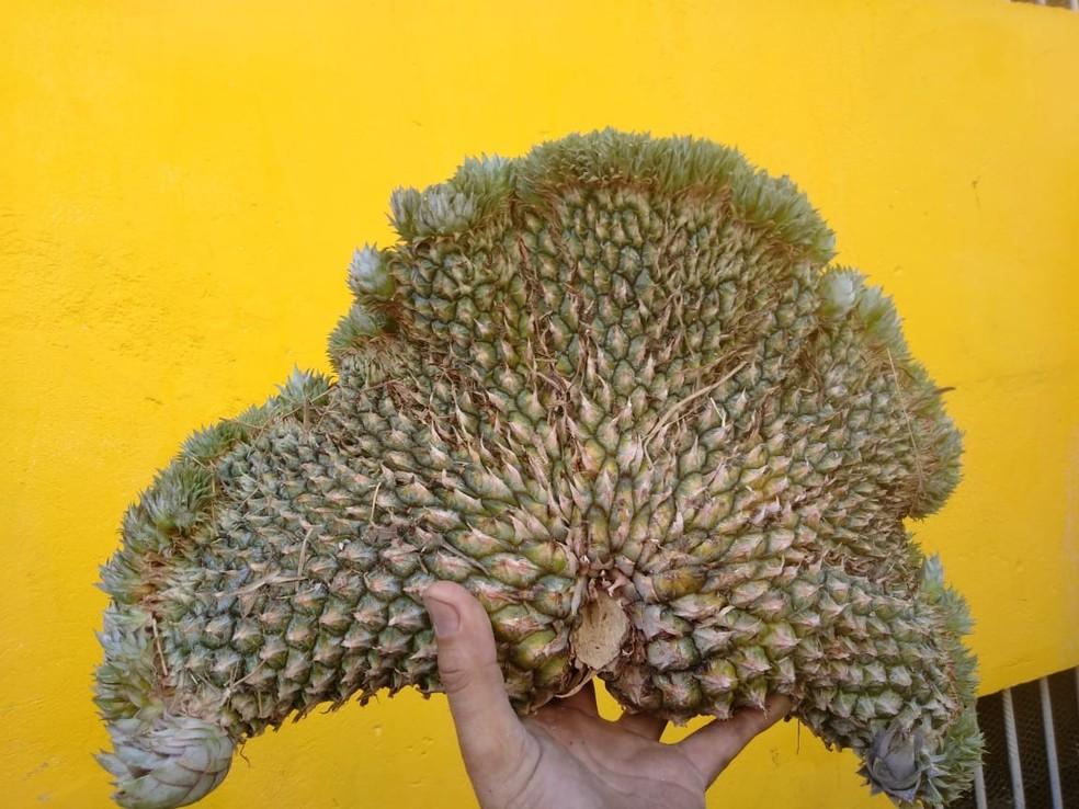 Anomalia deixou abacaxi com formato diferente — Foto: José Renato/Divulgação