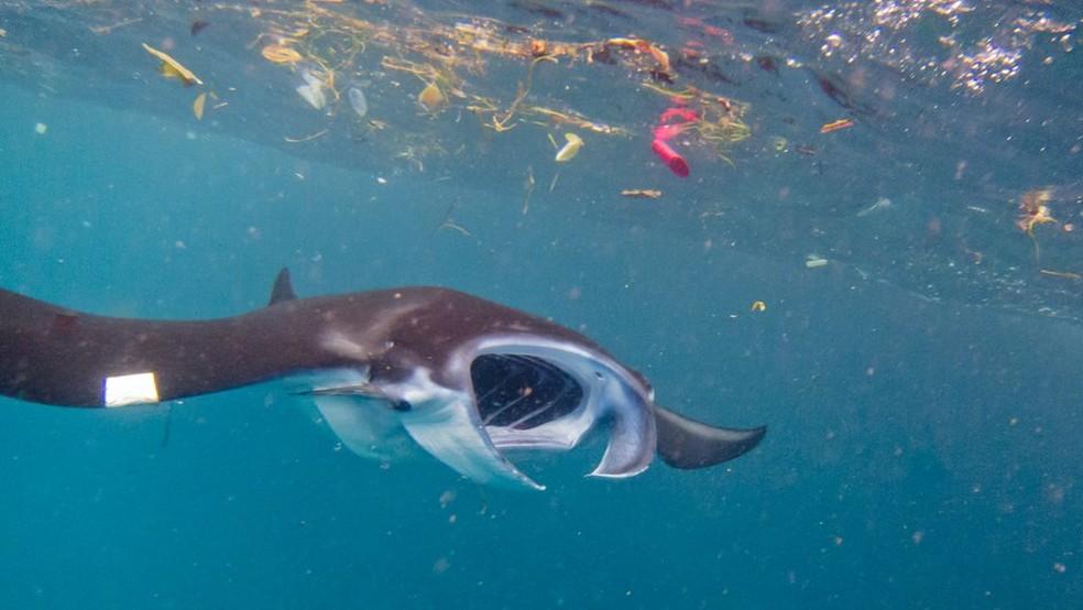 Ainda é preciso mensurar os riscos da ingestão de partículas de plástico por animais marinhos, dizem pesquisadores (Foto: Elitza Germanov/Marine Megafauna Foundation)