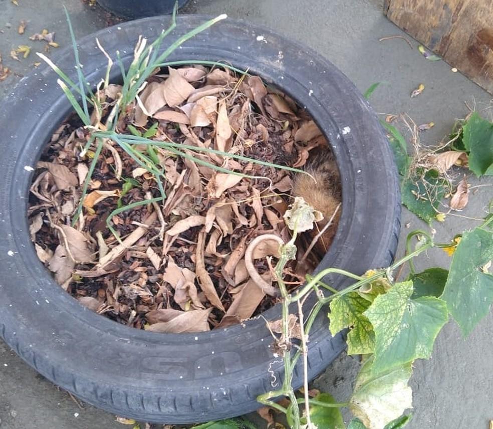 Sariguês foram encontrados em um quintal de um posto de saúde — Foto: Secretaria de Segurança Publico/Divulgação
