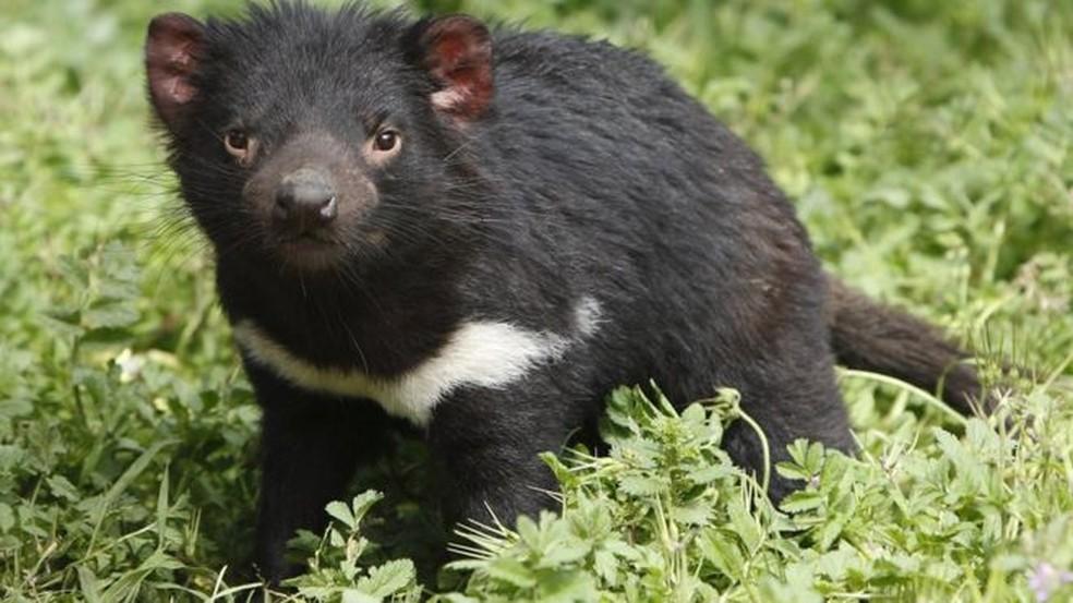 Uma forma contagiosa e transmissível 'parasitária' de câncer pode extinguir diabo-da-tasmânia nas próximas décadas — Foto: Getty Images