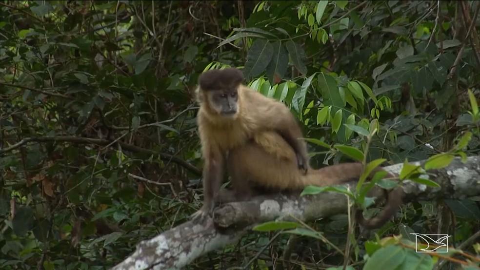Autoridades de Saúde alertam que a população não deve eliminar os macacos que são hospedeiros da doença (Foto: Reprodução/TV Mirante)