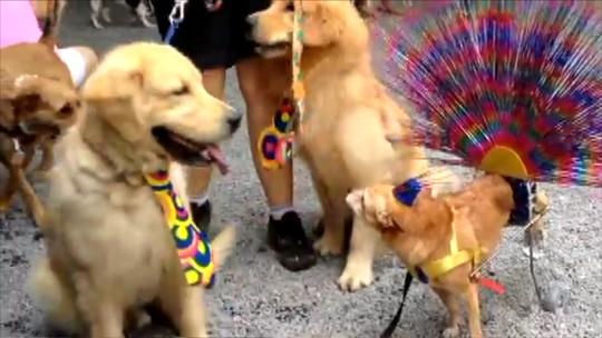 Cão com paralisia participa de bloco carnavalesco ao estilo 'Globeleza'