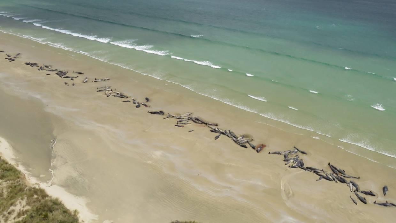 As 145 baleias-piloto estavam presas em 2 km de areia (Foto: DOC)