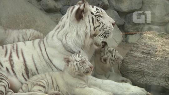 Filhotes de tigre-de-bengala são apresentados no Japão; veja vídeo