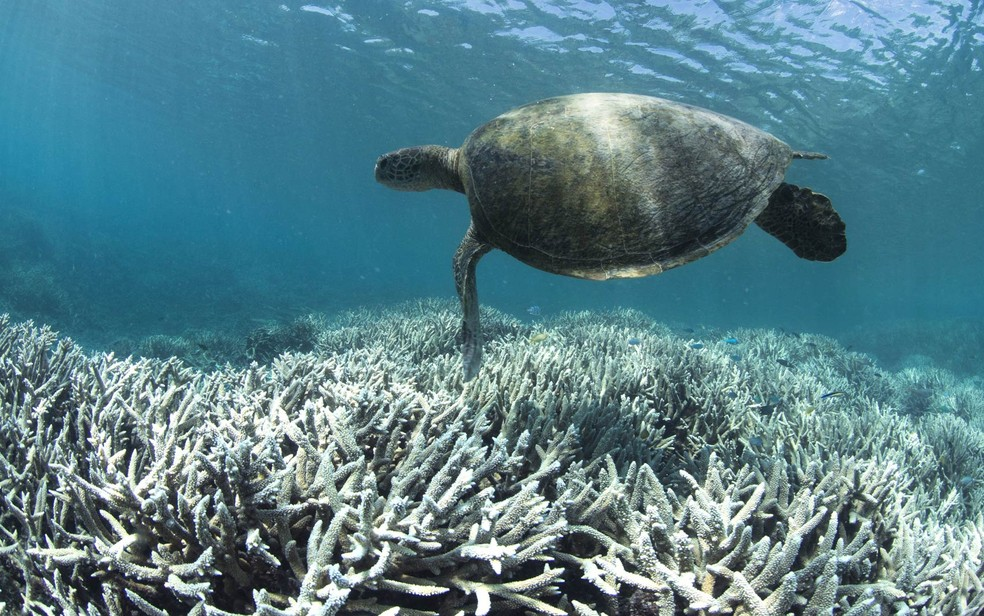 Tartaruga nada sobre corais descoloridos na ilha Heron, englobada pela Grande Barreira de Coral na Austrália. A Grande Barreira passa pelo mais grave processo de branqueamento já registrado, com 93% dos recifes afetados (Foto: AFP/XL Catlin Seaview Survey)