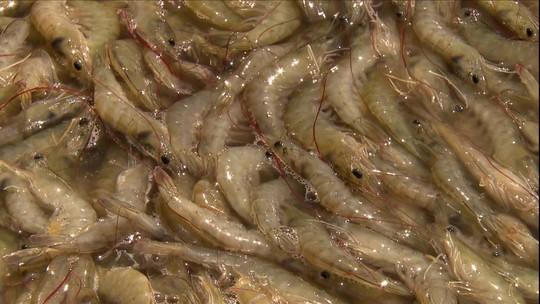 Vírus da Mancha Branca atinge criações de camarão do Nordeste