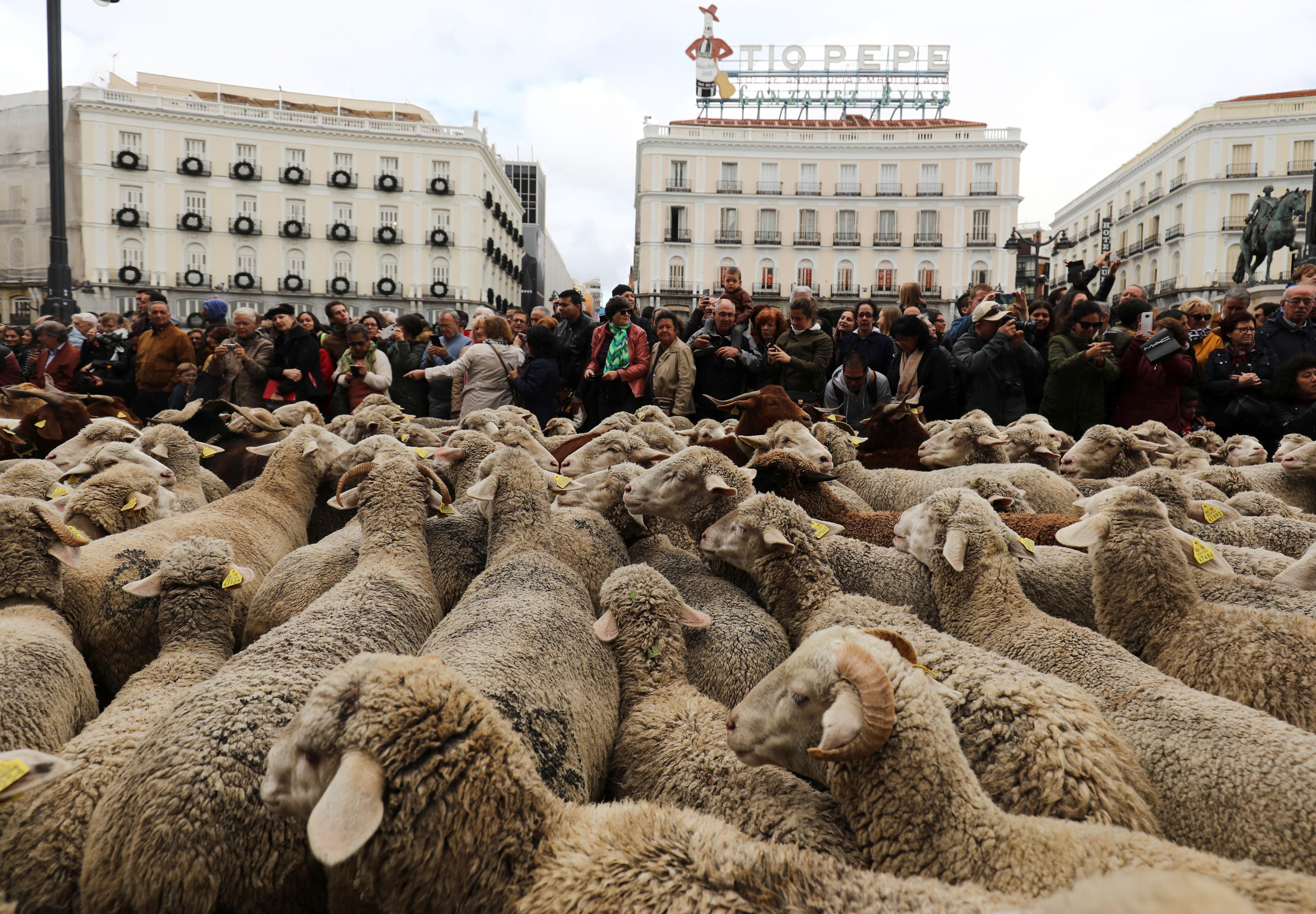 Pastores levam 2 mil ovelhas para o centro de Madri - Notícias - Plantão Diário