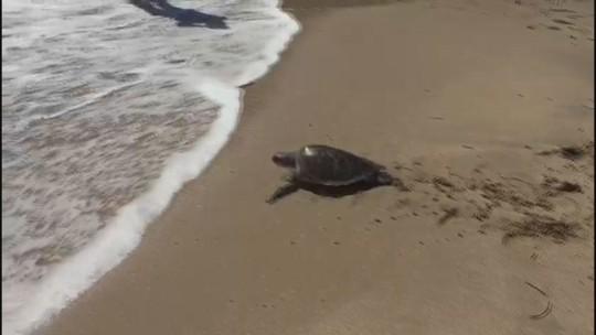 Tartaruga reaprende a nadar após 'intensivão' e volta ao mar em SP