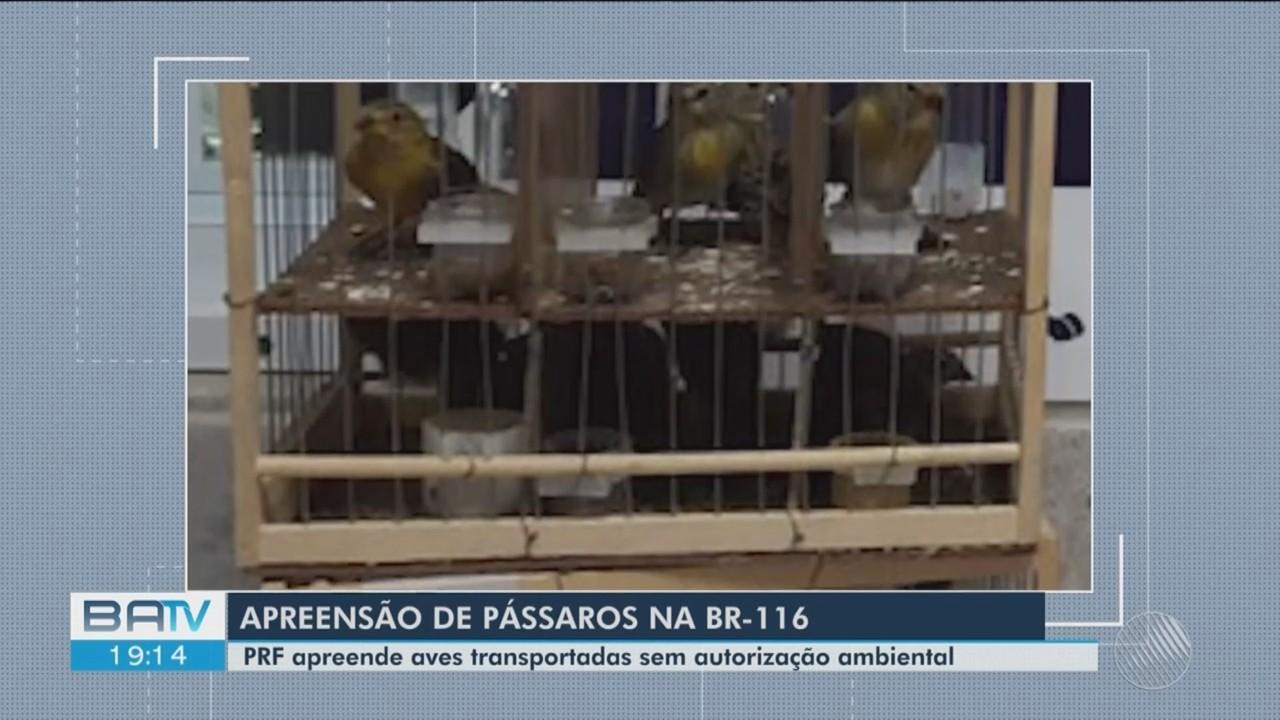 Operações da PRF apreendem 19 aves transportadas sem autorização ambiental na BR-116