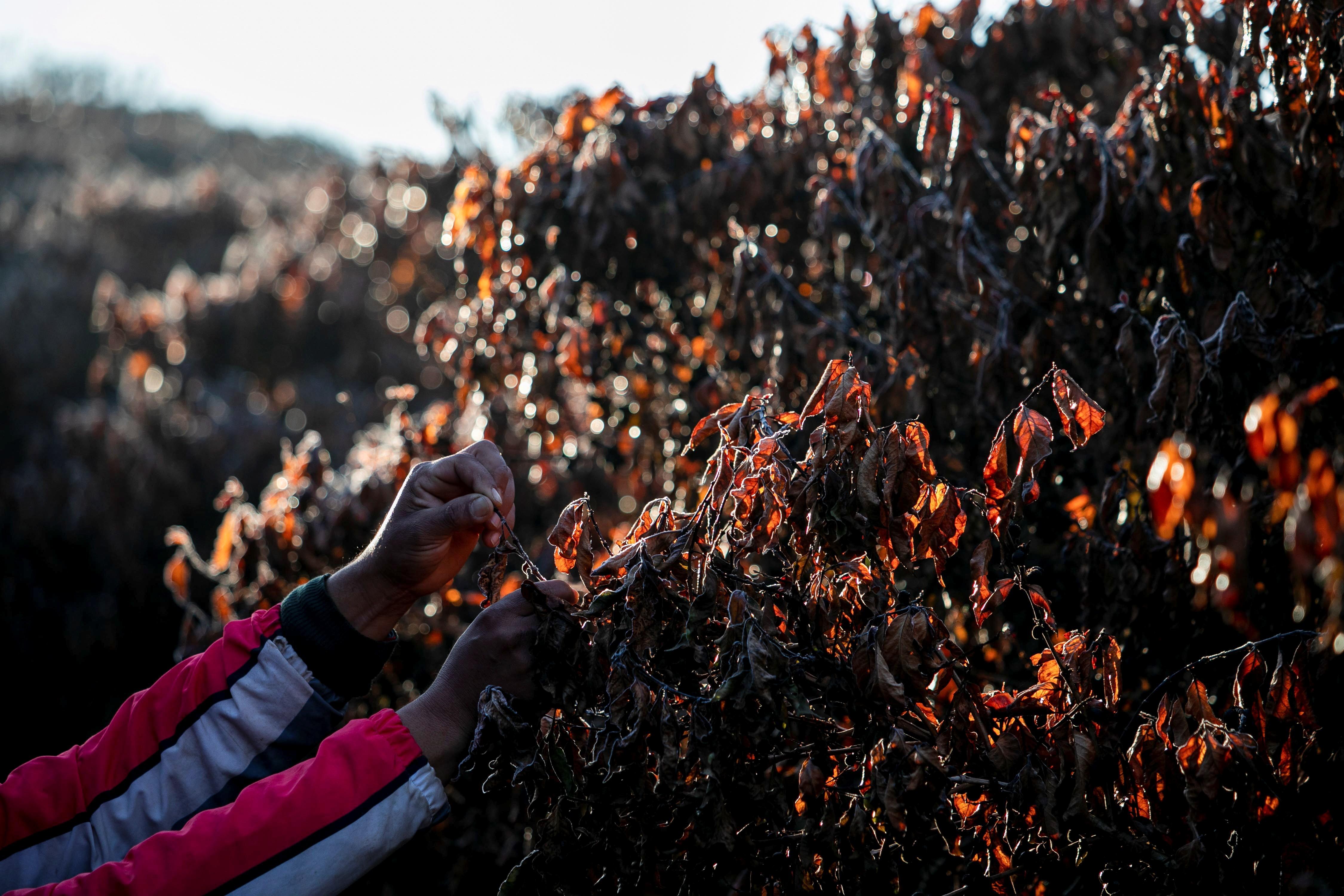 Inspeção de safra afetada pela geada em Varginha, Minas Gerais, Brasil (Foto: REUTERS/Roosevelt Cassio)