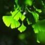 Papel de Parede: Ginkgo Leaves