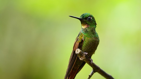 Beija-flor exclusivo do Brasil tem ligação com espécies dos Andes