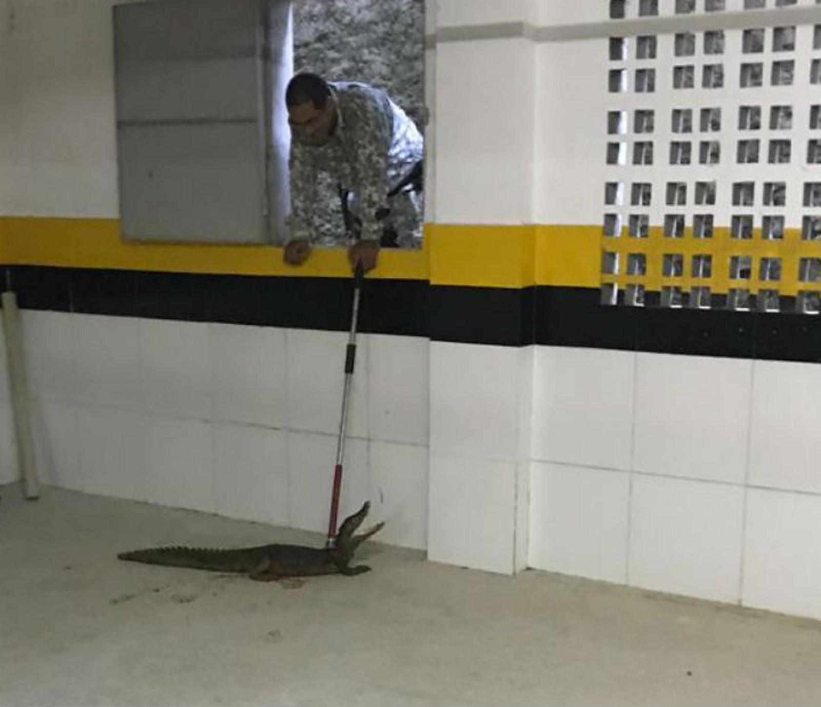 Jacaré é achado em prédio na Avenida Paralela, em Salvador — Foto: Divulgação/Guarda Municipal