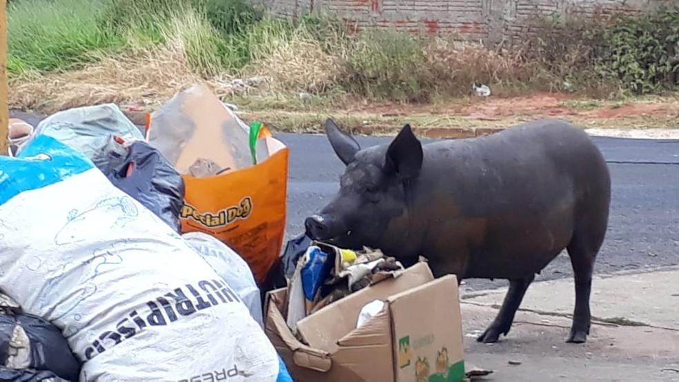 Porco é flagrado comendo lixo acumulado nas ruas de Bauru — Foto: Cristiane Paião/TV TEM