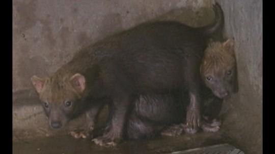 Filhotes de cachorro-vinagre são resgatados em Altamira, Pará