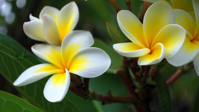 flor-Frangipani flowers (Foto: Renesis/Creative Commons)