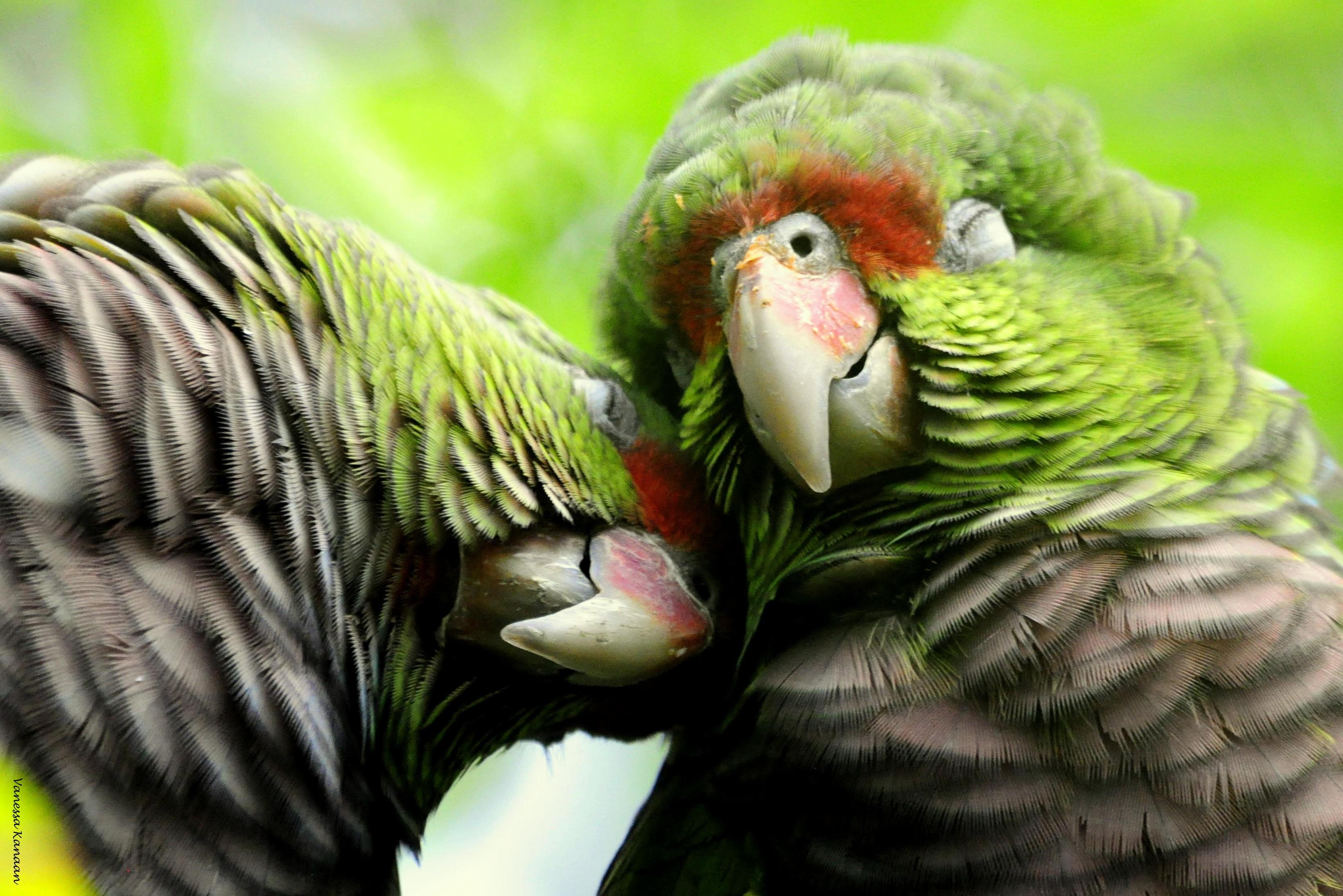 Projeto dribla pandemia para reabilitar papagaios-de-peito-roxo