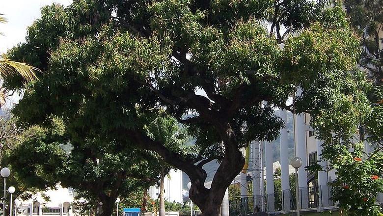 mangueira-Mangifera indica L.-manga-arvore (Foto: B.navez - Réunion island/Wikimedia Commons)