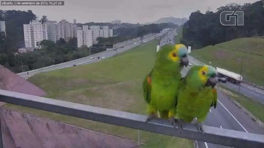 Resgate e observação de animais na Anhanguera e Bandeirantes mudam rotina de agentes de tráfego; vídeo